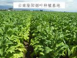 云南隆阳烟叶种植基地示范区